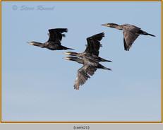 cormorant-21.jpg