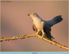 cuckoo-147.jpg