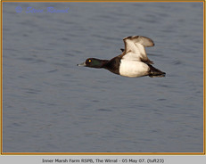 tufted-duck-23.jpg