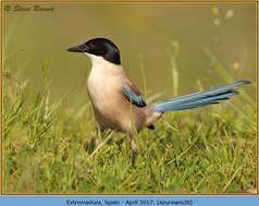 azure-winged-magpie-28.jpg