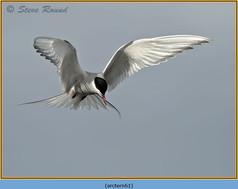 arctic-tern-61.jpg