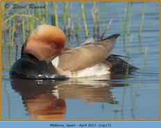 red-crested-pochard-17.jpg