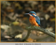 kingfisher-14.jpg