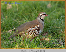 red-legged-partridge-09.jpg