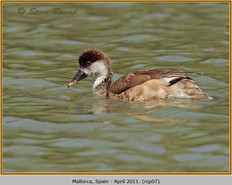 red-crested-pochard-07.jpg