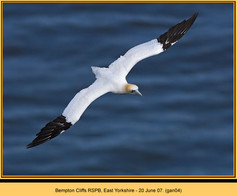 gannet-04.jpg