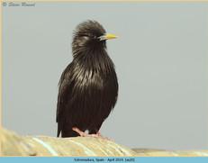 spotless-starling-20.jpg