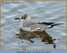 laughing-gull-09.jpg