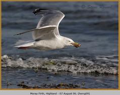 herring-gull-09.jpg