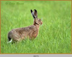 brown-hare-77.jpg