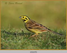 yellowhammer-45.jpg