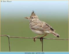 crested-lark-05.jpg