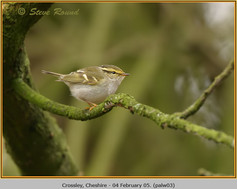 pallas's-warbler-03.jpg
