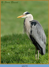 grey-heron-59.jpg