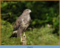 buzzard- 63.jpg