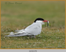 arctic-tern-35.jpg