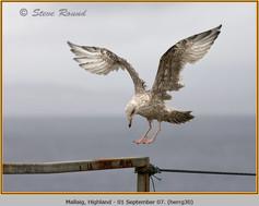 herring-gull-30.jpg