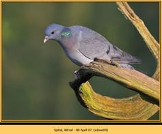 stock-dove-04.jpg
