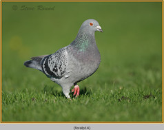 feral-pigeon-14.jpg