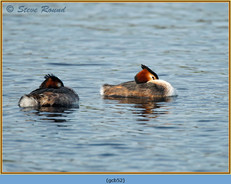great-crested-grebe-52.jpg