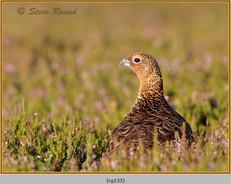 red-grouse-133.jpg