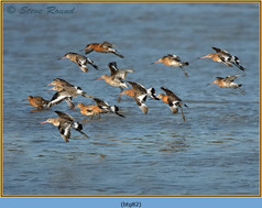 black-tailed-godwit- 82.jpg