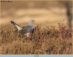 cuckoo-138.jpg