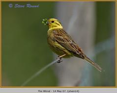 yellowhammer-14.jpg