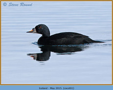 common-scoter-01.jpg
