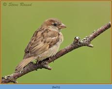 house-sparrow-71.jpg