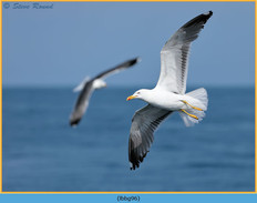 lesser-black-backed-gull- 96.jpg