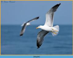 lesser-black-backed-gull- 96.jpg