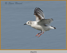 little-gull-24.jpg