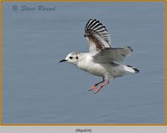 little-gull-24.jpg