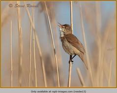 reed-warbler-13.jpg