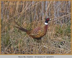 pheasant-07.jpg