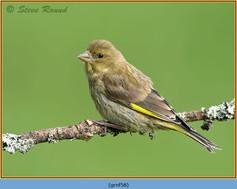 greenfinch-58.jpg