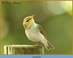 wood-warbler-58.jpg