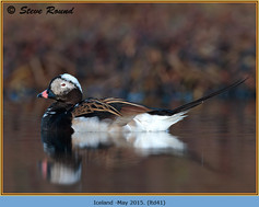 long-tailed-duck-41.jpg