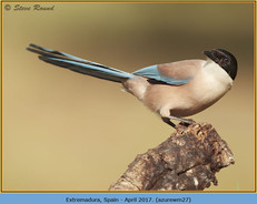 azure-winged-magpie-27.jpg