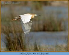 squacco-heron-10.jpg