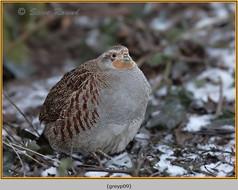grey-partridge-09.jpg