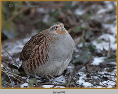 grey-partridge-09.jpg