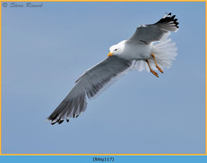 lesser-black-backed-gull-117.jpg