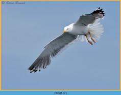 lesser-black-backed-gull-117.jpg
