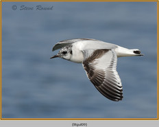 little-gull-09.jpg