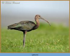 glossy-ibis-16.jpg