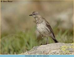 water-pipit-11.jpg