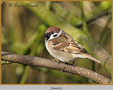tree-sparrow-31.jpg