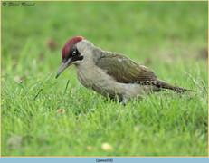green-woodpecker-18.jpg